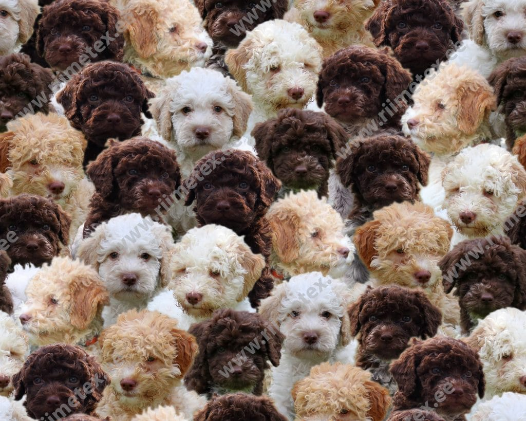 Lagotto-kutsikad, French Terry