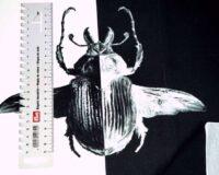 Põrnikas, must-valge, French Terry, paneel ca 53X70cm